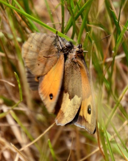 Mating meadow browns