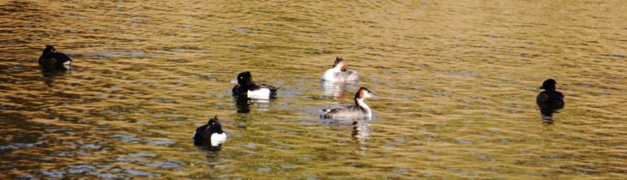 Grebes and tufties