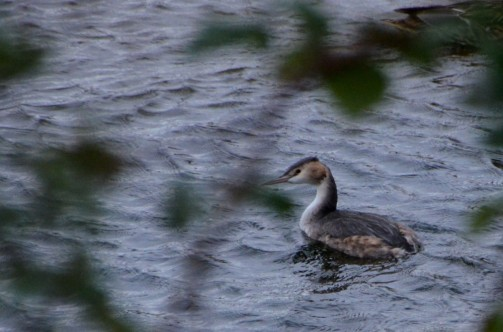 Winter grebe