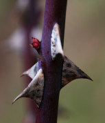 Dog rose thorns