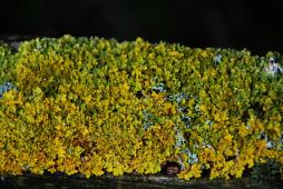 Fence top lichen