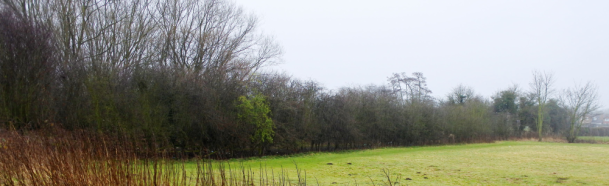 One leafy hawthorn