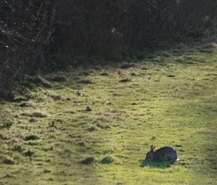 Rabbit nibbling