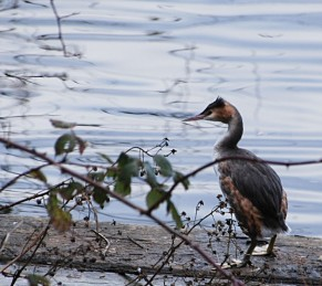Grebe out of water