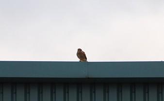 Rooftop kes