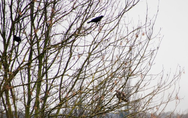 Crows and kestrel