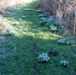 Path of snowdrops