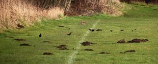 Rabbits, blackbirds and molehills