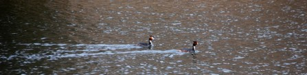 Two Grebes