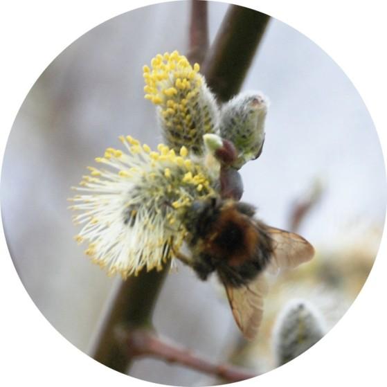 160321_14_37_39_NIKON D80_192Bee on willow catkin
