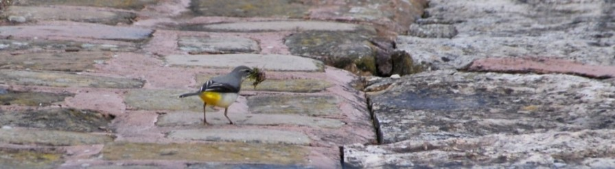 Grey wagtail with building material