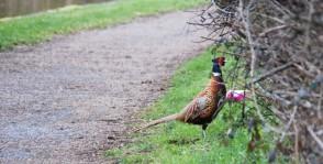 Towpath pheasant