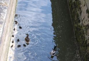 Eleven chicks in Morse lock