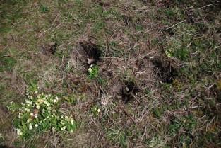 Somebody's been nicking primroses