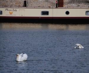 Swans on the marina