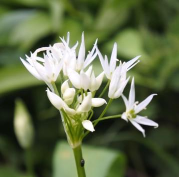 ... or wild garlic
