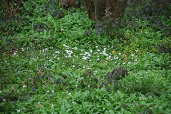 Wood anemonies, ramsons & bluebells