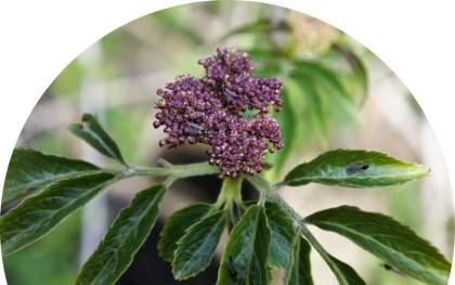Elderflower with flies