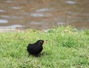 Blackbird with dinner