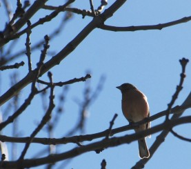 Overhead chaffinch