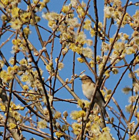 Chiffchaff among the catkins
