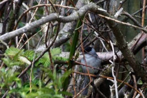 Black cap glimpsed