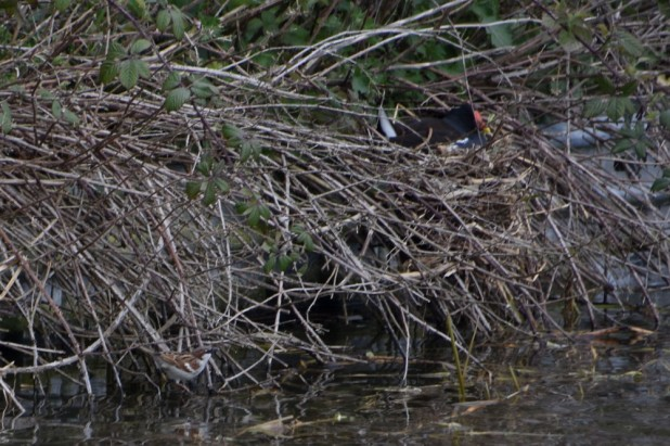 Sparrow drinking under moorhen's nest