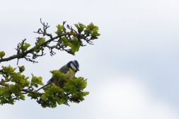 Blue tit foraging