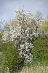 Cascade of pear blossom