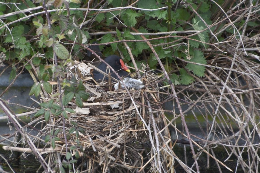 Moorhen on the nest
