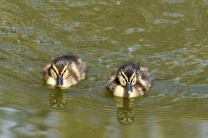 Ducklings - aaaaawwww!
