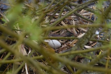 Coot's egg