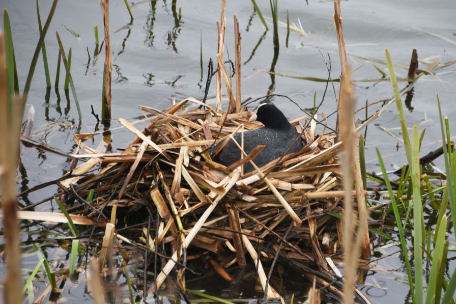 Coot on the nest