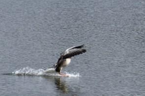 Greylag landing