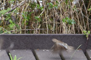 Blurred sparrow