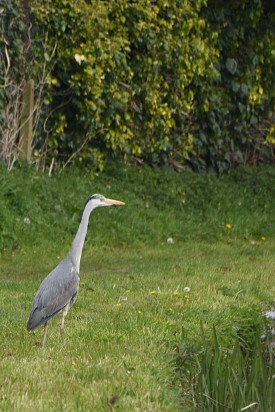 Grey heron on the towpath