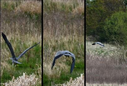 Heron leaves