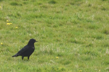 Half beaked crow
