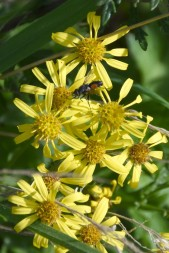 Wasp on ragwort