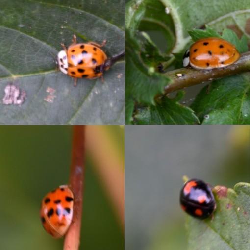 Sundry Ladybirds