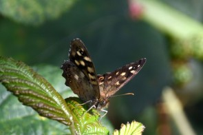 More speckled wood