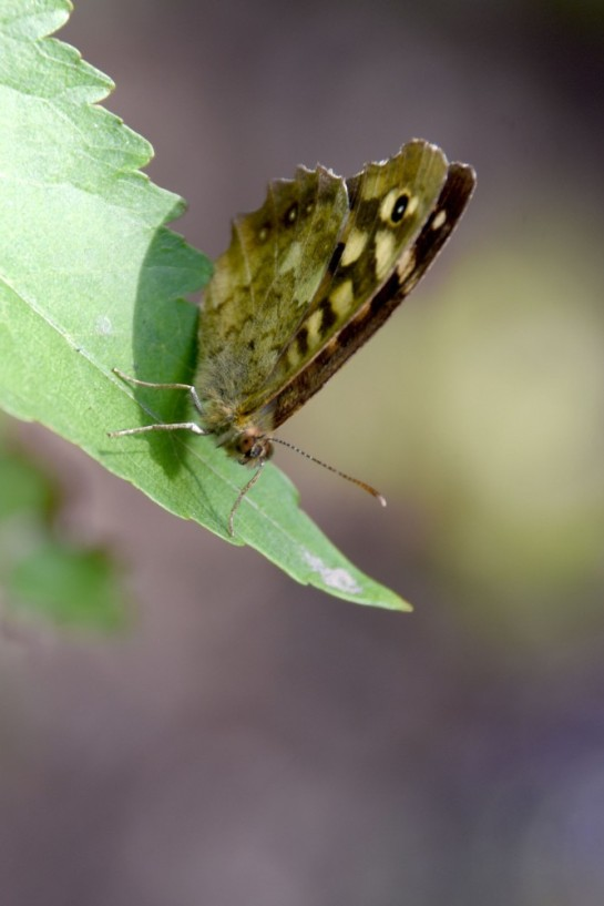 Speckled wood (again)