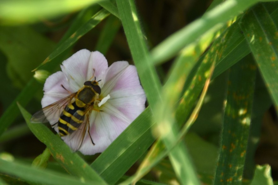 160915_141541_099hoverfly-on-convolvulus