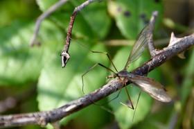160915_150324_225crane-fly
