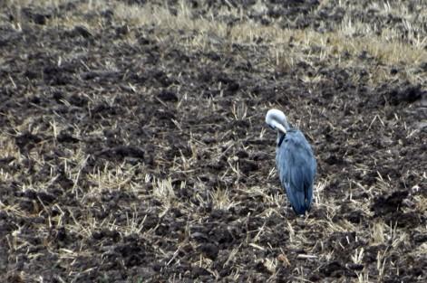 Ploughed field heron