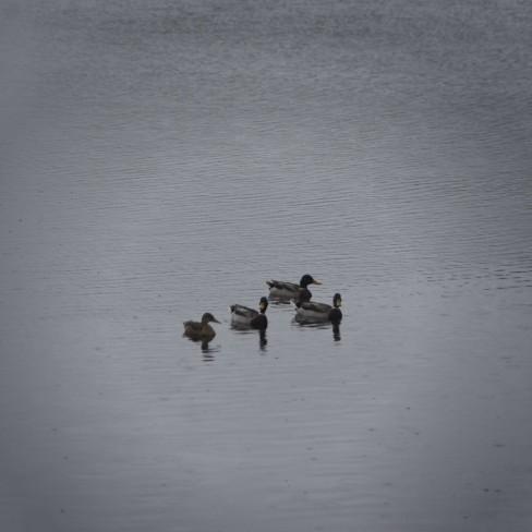 160926_133410_007vignetted-ducks