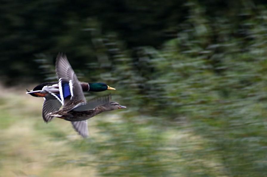 160926_134502_044pair-o-ducks