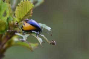 Gravid alder leaf beetle