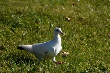White dove walking