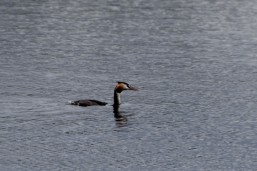 Half submerged grebe
